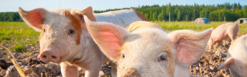 VGT: Piglet Castration