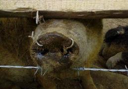 Schwein mit Draht in der Nase