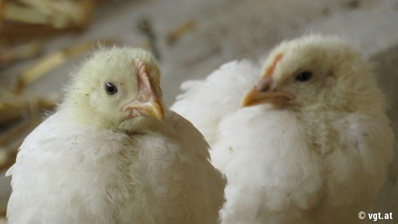 mauser der hühner