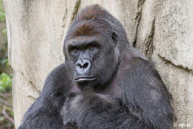 eb94760fc0e39 Gorilla Harambe musste sterben Kein Tier will in Gefangenschaft leben