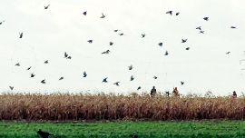 Fasane über einem Feld.